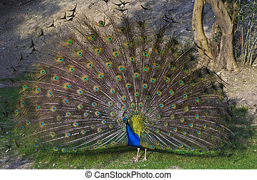 Indian peacock (Pavo cristatus) - Indian peafowl shows his...