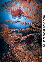 Sea fan and marine life in the Red Sea