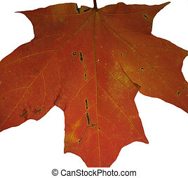 Colorful leaf - Isolated red fall leaf that has a lot of...