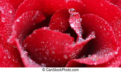 Rose - Red rose with water drops close-up