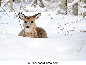 Whitetail Deer Yearling - Whitetail deer yearling bedded in...