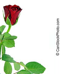A single red rose on a white background with copy space