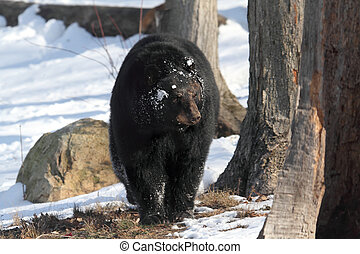Black Bear Ursus americanus walking in the snow in winter