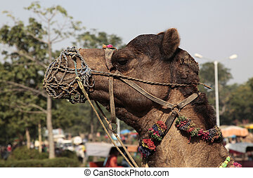 Dromedary - The dromedary or Arabian camel is a large even...