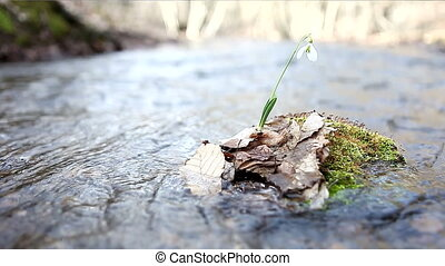 Snowdrops near water