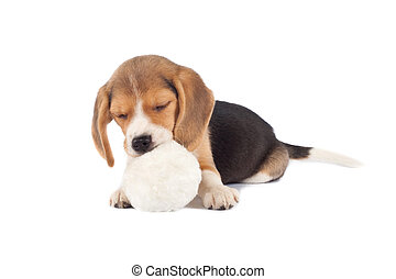 sleeping small beagle puppy chewing on a fur ball