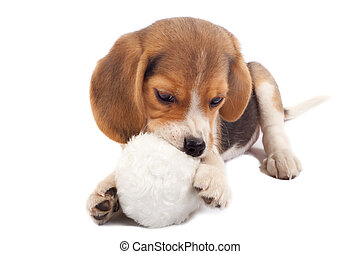 beagle pup chewing on a toy