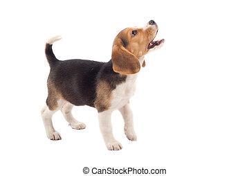 beagle puppy barking - cute purebred beagle looking at...
