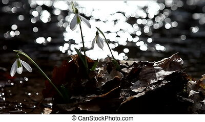 Snowdrops near water Reflexes in the background