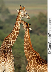 Giraffe interaction - Interaction between two giraffes...