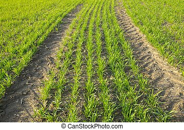 Field - Agricultural field with fresh, growing plants