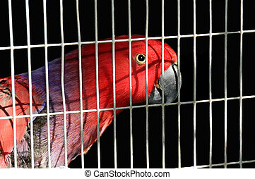 Australian King Parrot in a Cage - A red Australian King...
