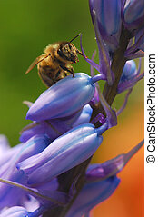 bee on bluebells - honey bee pollenates bluebell with...
