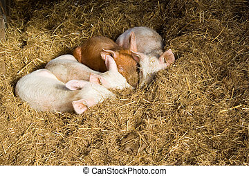 Baby pigs sleeping in hay - Four young pigs nestled in hay...