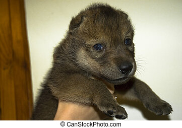 Wolf (Canis lupus) in hand - A wolf puppy in hand