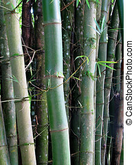 Bamboo Plant - Green tropical bamboo plants