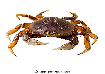 Dungeness Crab (Metacarcinus magister) - Live dungeness crab...