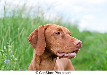 Vizsla Dog (Hungarian Pointer) Portrait - A closeup shot of...