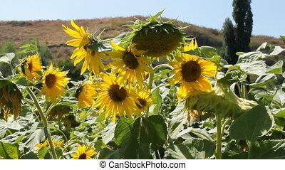 Sunflowers 12 - Field of sunflowers