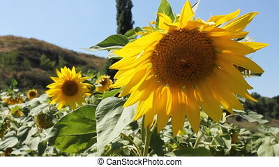Sunflowers 15 - Field of a sunflowers on a background of...