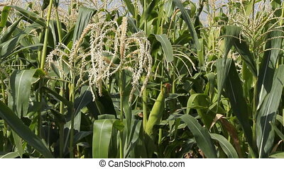 Cornfield 2 - Corn field, cob.
