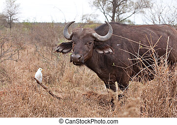 african cape buffalo - cape buffalo grazing with cattle...