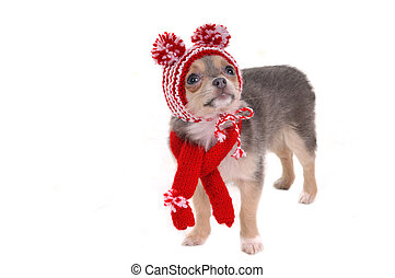 Chihuahua puppy with red and white striped hat with funny pompons isolated on white background