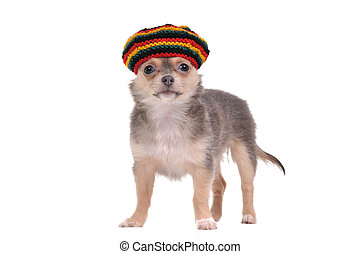 Funny chihuahua puppy in rastafarian hat - 3 month old Funny...