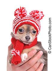lindo,  Chihuahua, viejo, meses,  3, divertido, retrato, perrito, sombrero,  Pompons