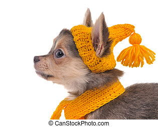 Portrait of chihuahua puppy with funny yellow hat and scarf...