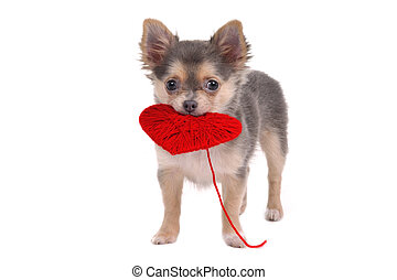 Puppy holding red heart - 3 month old Chihuahua puppy...