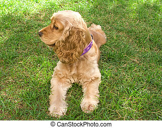 Cute american young Cocker Spaniel