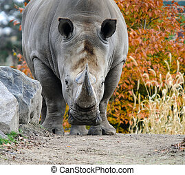 Rhino - Picture of a rhino starring directly at the...