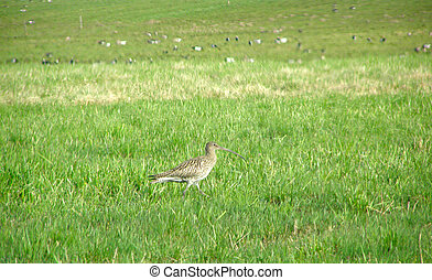 European curlew on a meadow in the spring