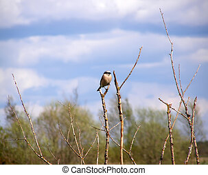 Shrike. / The bird sits on blade small stalks on a light...