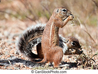 Two ground squirrels eating grass seeds on the ground in the...