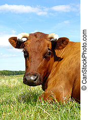 Cow face - Face of a resting cow. The sky is blue with white...
