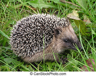 hedgehog in the grass - sweet and small hedgehog in the...