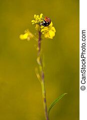 ladybird eatin aphid