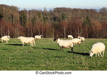 Sheep Flock Winter Evening Sun