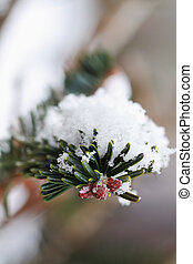 Snowy Pine Branch - Macro of a pine tree branch with fresh...