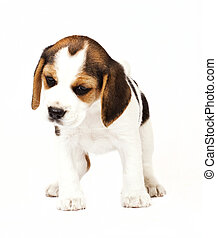 Beagle (1,5 months) in white background