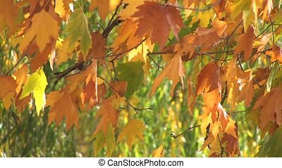 Autumn  foliage in the wind