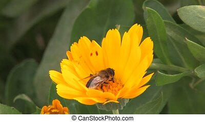 Bee on yellow flower, Canon XH A1, 1080p, 25fps, progressive...