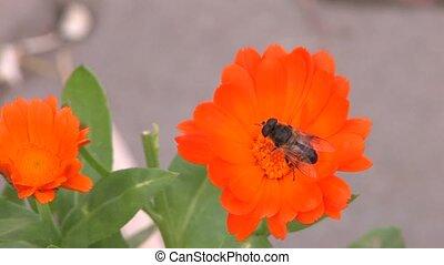 Bee on orange flower, Canon XH A1, 1080p, 25fps, progressive...