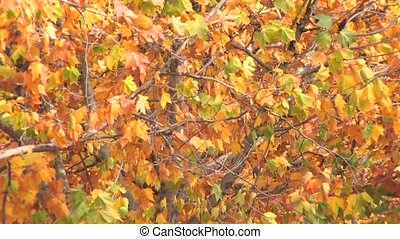 Autumnal lush foliage - Moving tree multy colored branches,...