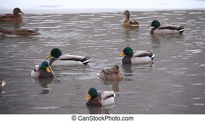 Ducks winter in the water