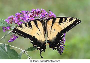 Male Tiger Swallowtail (papilio glaucas) Butterfly on a...