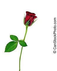 A single red rose - rosaceae