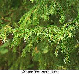 Fir tree - Close-up of fir tree branches